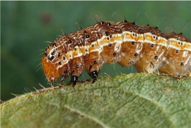 Lawn Insect army worm